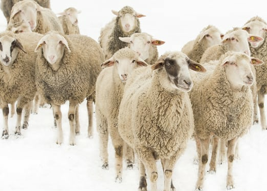 FORGET FUR – IS IT TIME TO STOP WEARING WOOL?